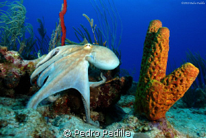 Octopus &amp; Tube Sponge